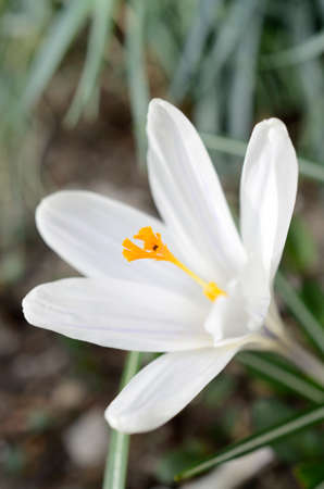 crocus: Close up of a white crocus Stock Photo