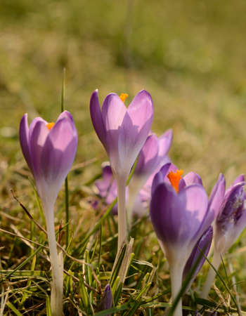 condolence: Pink crocus on a green meadow