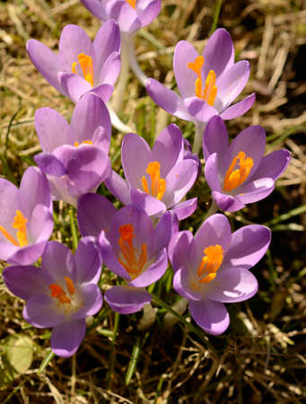 crocus: Pink crocus on a green meadow