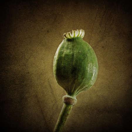 codeine: Poppy seed capsule Stock Photo