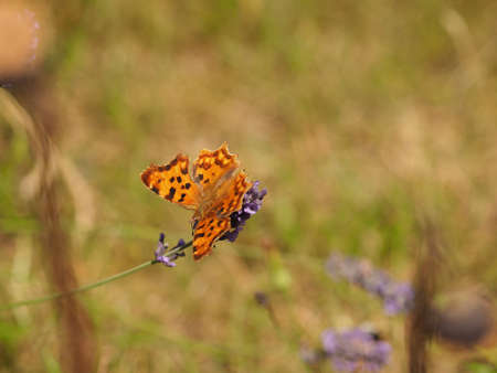 Butterfly Polygonia c-album on a lavender in a park