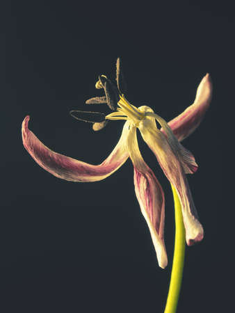 Old withered purple tulip on a dark background, Past beauty with abstract fragility