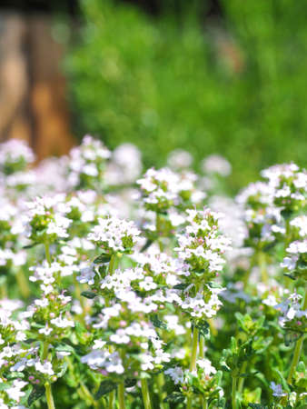 Beautyful blooming thyme in an organic herb garden