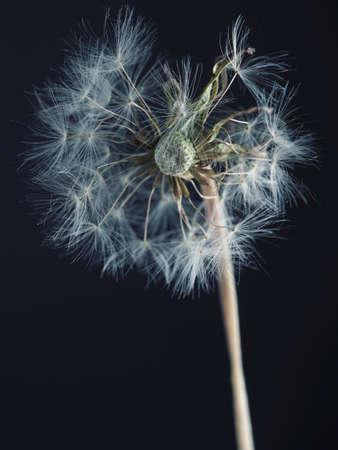 Dandelion seed head studio shot with dark background 写真素材