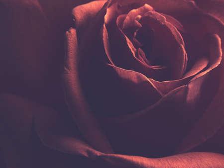 Beautiful red rose using as background or gift card, studio shot Banco de Imagens - 124822231