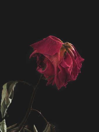 Dried rose on a dark background