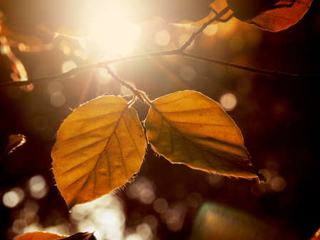 Autumn foliage in the morning backlight, natural or seasonal background