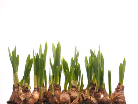 Growing narcissus bulbs in a row in front of white background, easter or spring concept Banco de Imagens