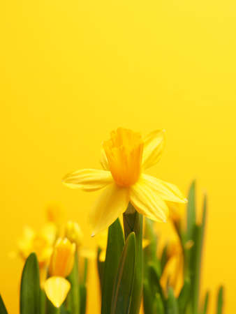 Beautiful daffodils against a yellow background with space for your text
