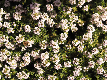 Bees searching for nectar on a thyme bush, view from above