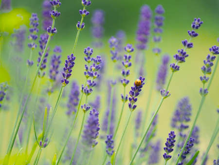 Small ladybug Coccinellidae in a field of lavender Lavandula angustifoli using as natural summer background Banco de Imagens