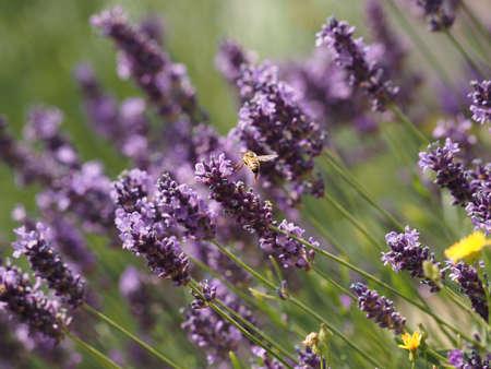 Honeybee flies in a lavender field, seasonal or natural background