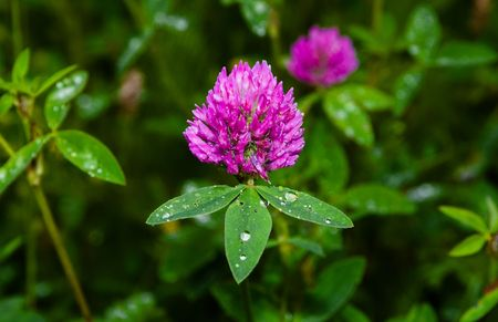 globule: pink clover (trifolium pratense) with raindrops on leaves