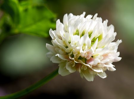white clover (trifolium repens) at meadow close up Stock Photo - 5334918