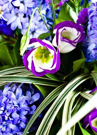 hyacinthus: azul difusa portarretrato de bouquet (hyacinthus orientalis)