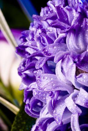 hyacinthus: blue fuzzy (hyacinthus orientalis) with waterdrops closeup Stock Photo