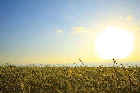 wheat field at sunset, landscape photo