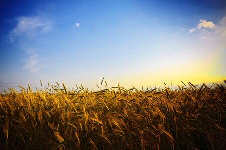 wheat fields: wheat field at golden sunset