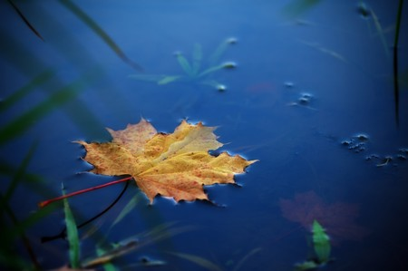 autumn maple leaf on water Stock Photo