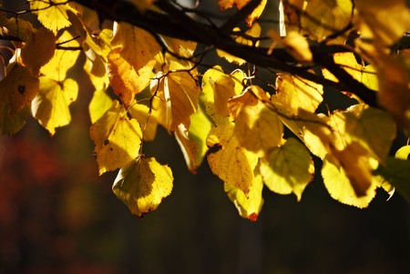 autumn aspen leaves branch photo