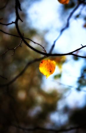 aspen leaf: lonely aspen autumn leaf