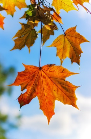 branch of autumn maple leaves Stock Photo