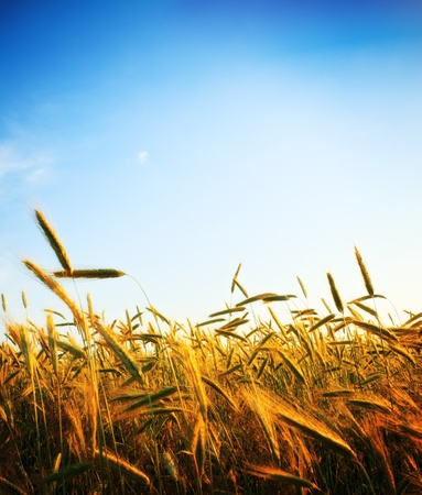 wheat field and blue sky at sunset