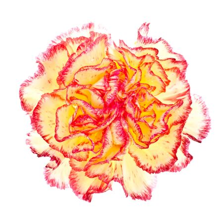single pink and yellow carnation isolated on white photo