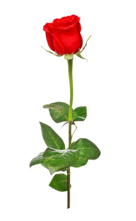 single red rose isolated on white background photo