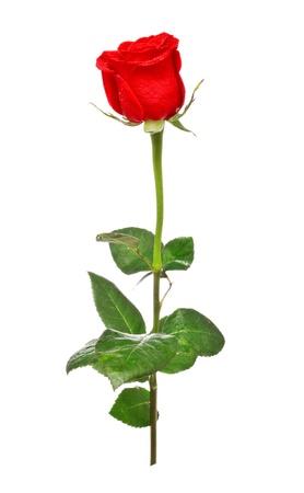 rose bud: unico rosso rosa isolato su sfondo bianco