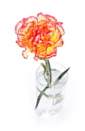 single carnation in glass isolated on white Stock Photo - 9183612