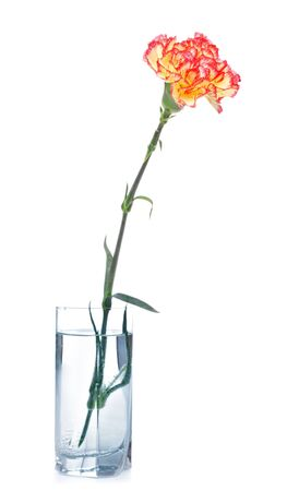 single carnation in glass isolated on white photo