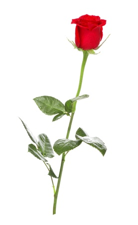 single dark red rose isolated on white Stock Photo