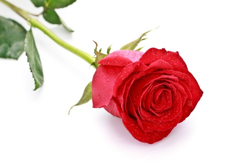 single dark red rose isolated on white
