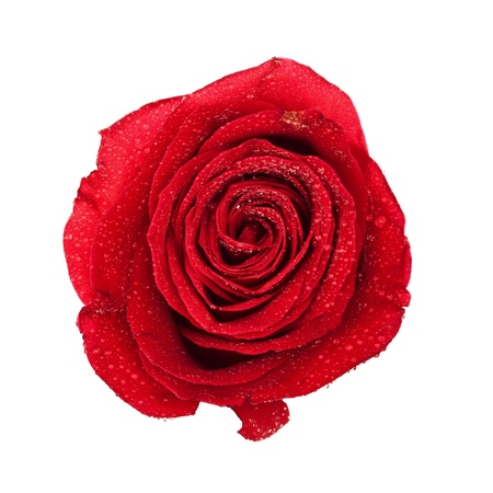 single dark red rose top view isolated on white Stock Photo
