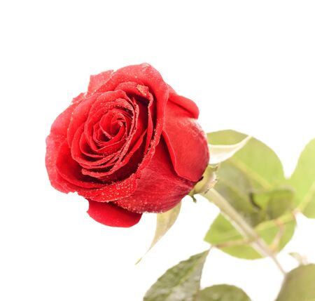 single dark red rose close up isolated on white photo