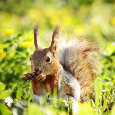 red squirrel in grass eating pinecone at summer day Stock Photo