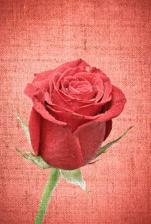 single dark red rose close up, on red canvas background photo