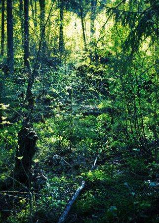 the thicket: green spruce thicket illuminated by evening sun Stock Photo