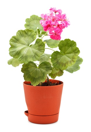 potting: potted plant of geranium isolated on white Stock Photo