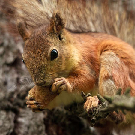 red squirrel on branch eating bread crust photo