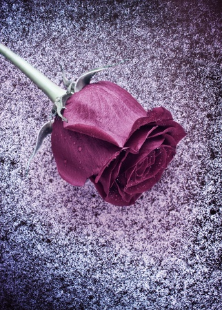 single frozen dark red rose laying on snow Stock Photo - 10262296