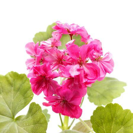 pink geranium flower isolated on white background photo