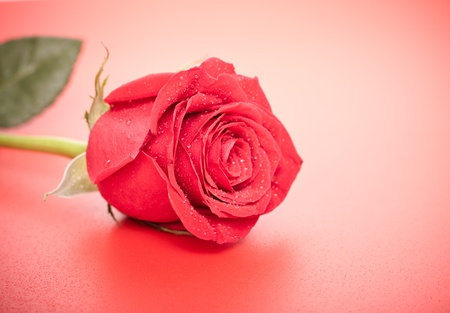 single dark red rose close up, on red background Stock Photo - 10282498