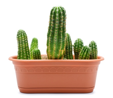 green cactus in brown pot, isolated on white photo