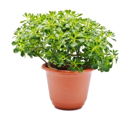 home plant in pot isolated on white