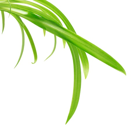 long green leaves isolated on white background Stock Photo