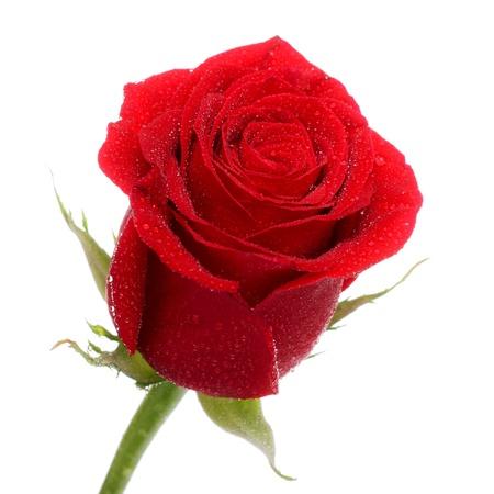 single dark red rose close up isolated on white Standard-Bild