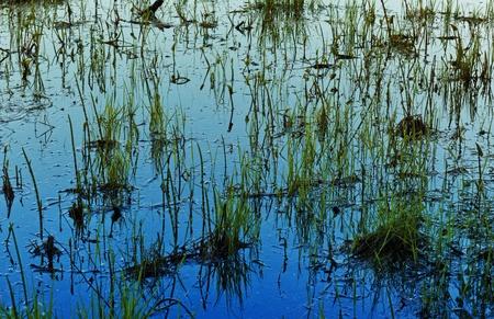 wetland conservation: grass in water late evening, lake at Kareliya