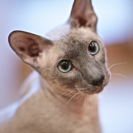 cute hairless oriental cat close up, peterbald Stock Photo - 11646812